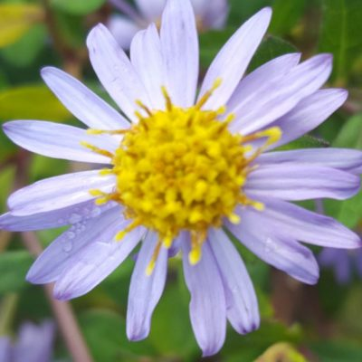 Aster ageratoides 'Harry Smith'