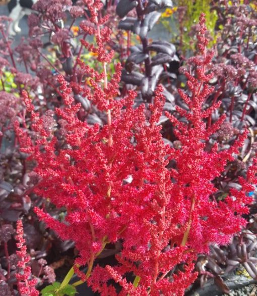 Astilbe arendsii 'Alive and Kicking''