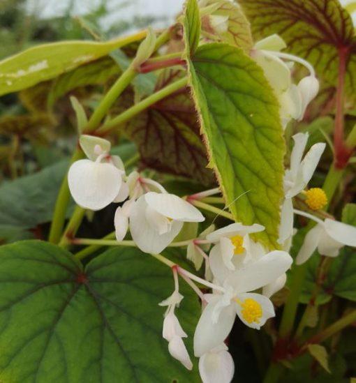 Begonia grandis ssp. Sinensis 'Snowpop'
