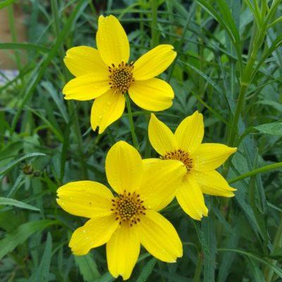 Bidens heterophylla Bright Yellow Form