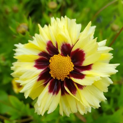 Coreopsis 'Uptick Cream Red Eye'