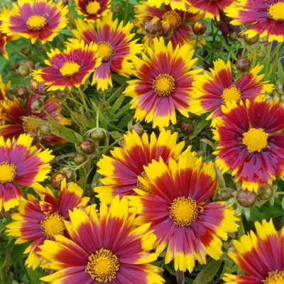 Coreopsis 'Uptick Gold and Bronze'