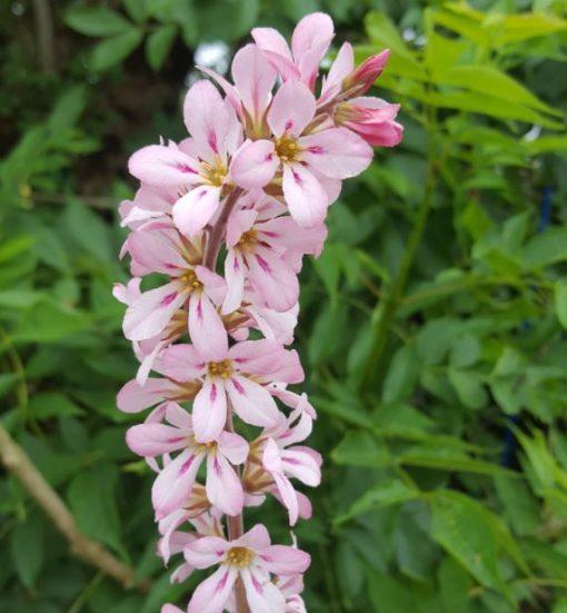 Francoa sonchifolia 'Pink Bouquet'
