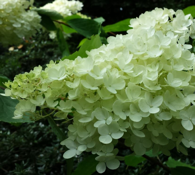 hydrangea paniculata 39 phantom 39 farmyard nurseries. Black Bedroom Furniture Sets. Home Design Ideas