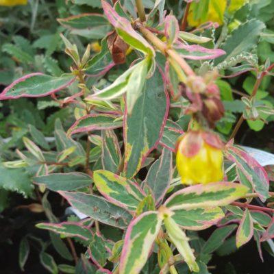 Hypericum moseranum 'Tricolor'
