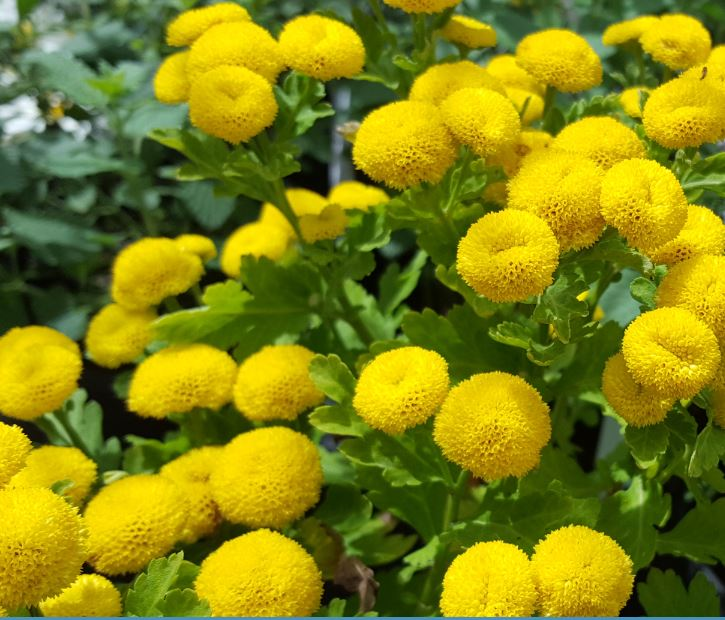 Matricaria 'Golden Ball'