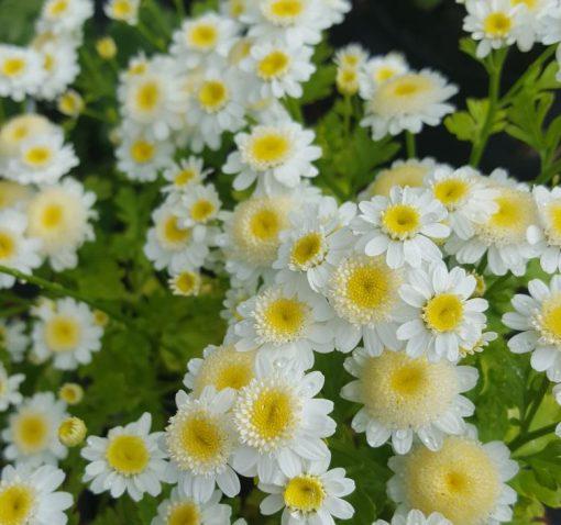 Matricaria 'White Stars'