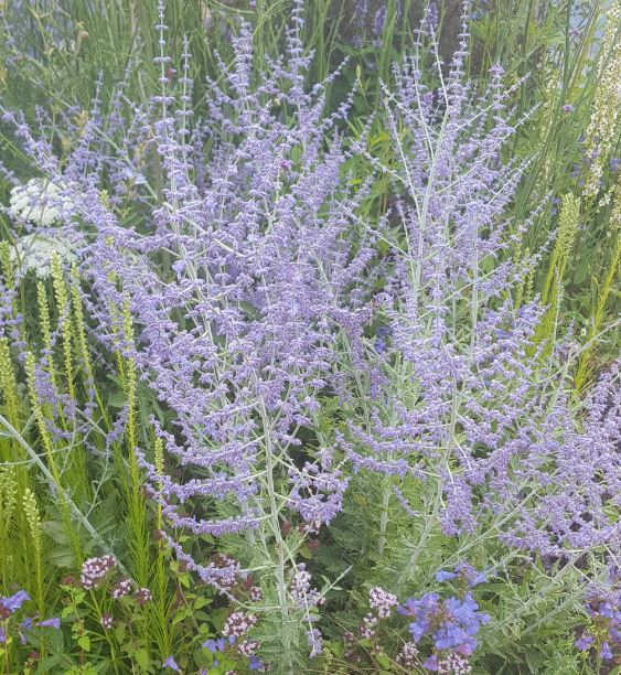 perovskia atriplicifolia 39 blue spire 39 farmyard nurseries. Black Bedroom Furniture Sets. Home Design Ideas