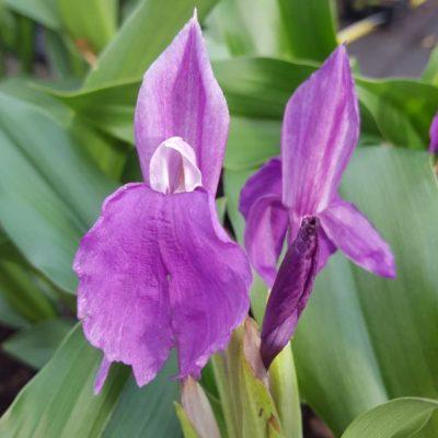 Roscoea purpurea 'Harvington Summer Deep Purple'