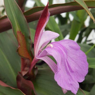 Roscoea purpurea 'Spice Island'