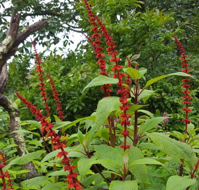 Salvia confertiifolia