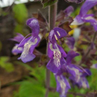 Fuchsia forsskaolii