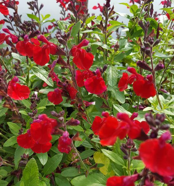 Salvia 'Mirage 'Cherry Red'