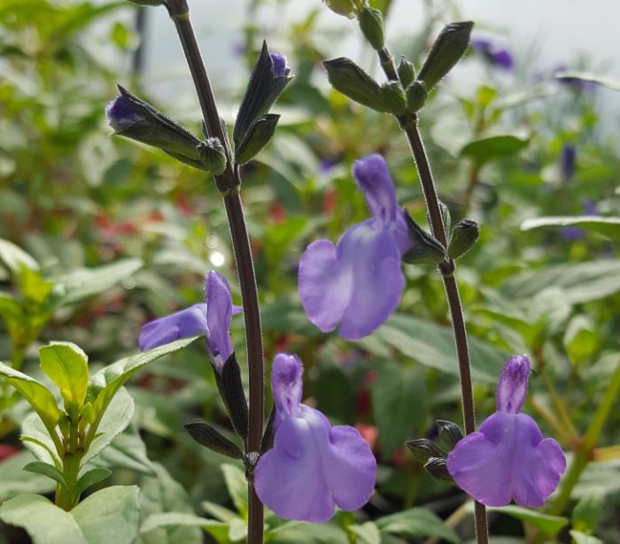 Salvia gregii 'Violin Music'