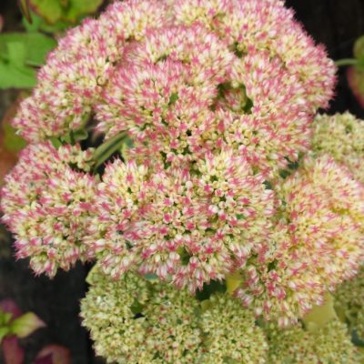 Sedum spectabile 'Autumn Charm'