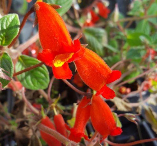 Seemannia nematanthodes 'Evita'