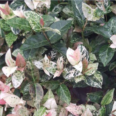 Trachelospermum asiaticum 'Tricolour'