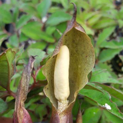 Typhonium horsfeldii