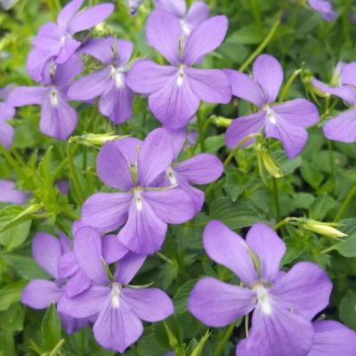 Viola cornuta 'Minor'