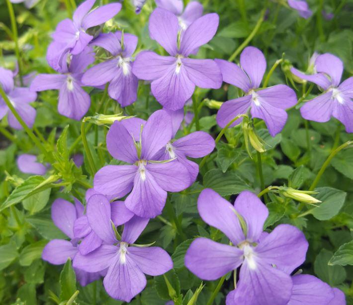Viola cornuta 39 minor 39 farmyard nurseries for Viola cornuta inverno