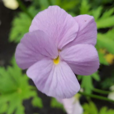Viola cornuta 'Vita'