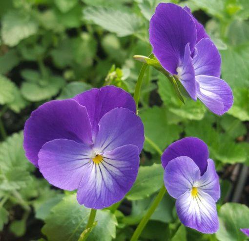 Viola cornuta 'Jean Jeanie'