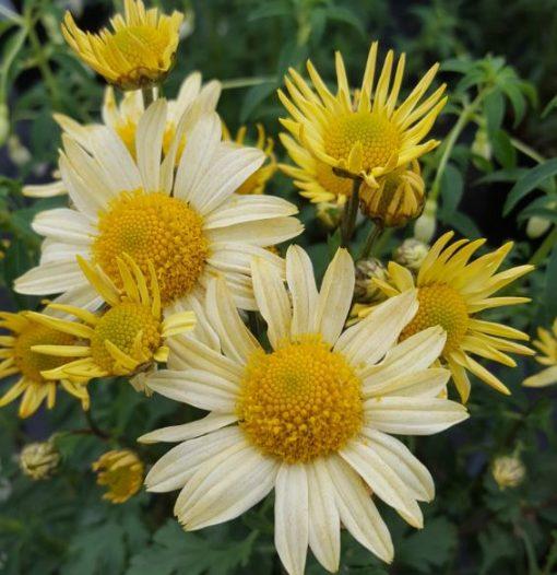 Arctanthemum arcticum 'Schwefelglanz'