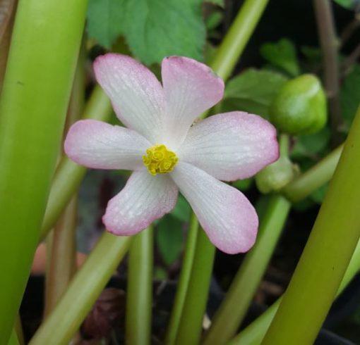 Begonia emeiensis