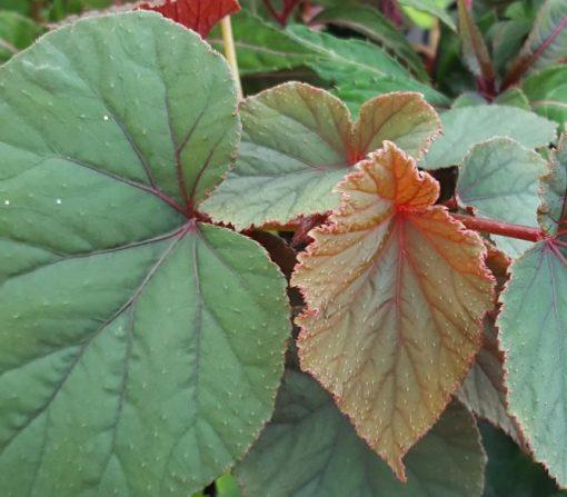 Begonia grandis 'Sapporo'