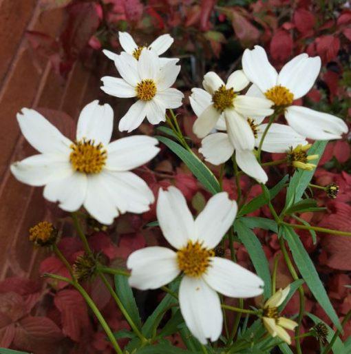 Bidens aurea white flowered