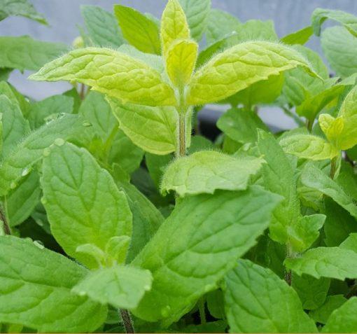 Herb Mint Buddleia (mentha longifolia)