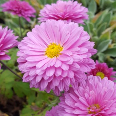 Chrysanthemum 'Bretforton Road'