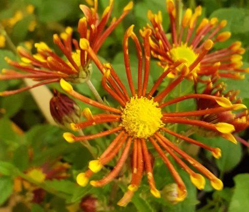 Chrysanthemum 'Burnt Orange