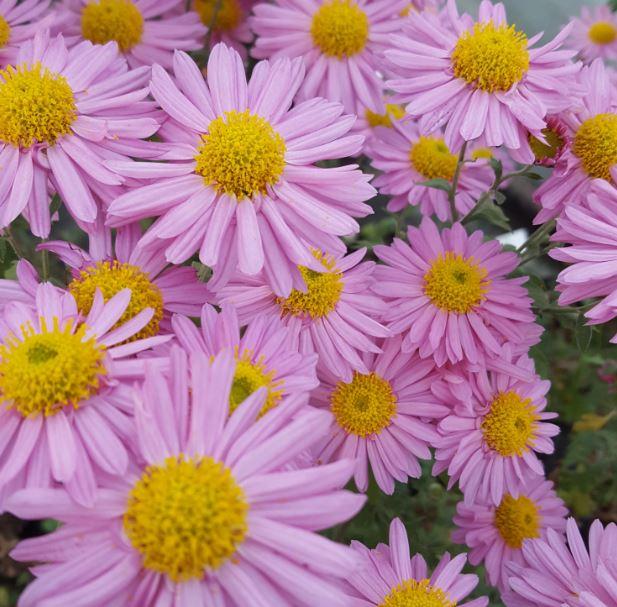 Chrysanthemum 'Carmine Blush'