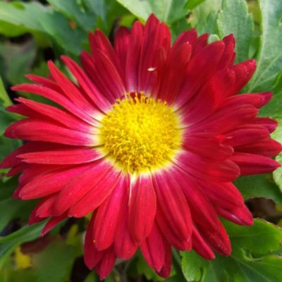 Chrysanthemum 'Christmas'
