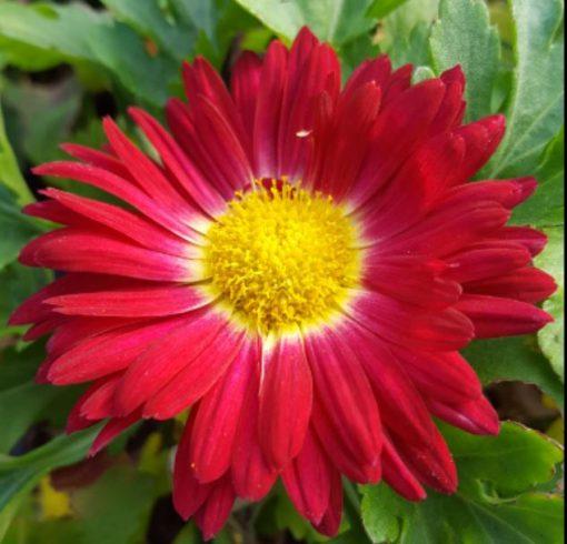 Chrysanthemum 'Christmas'