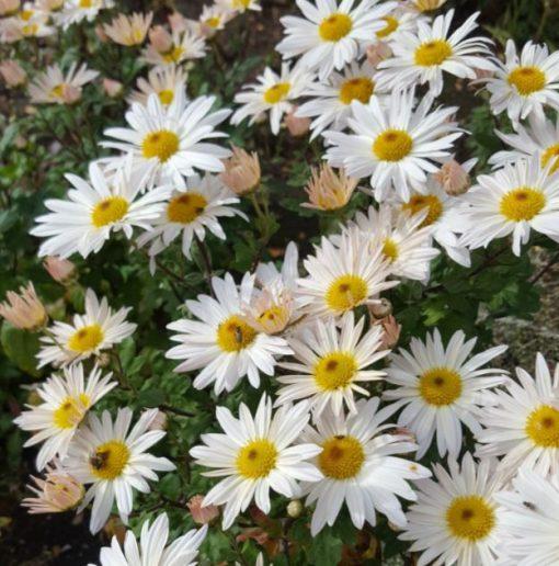 Chrysanthemum 'Elaines Hardy White'