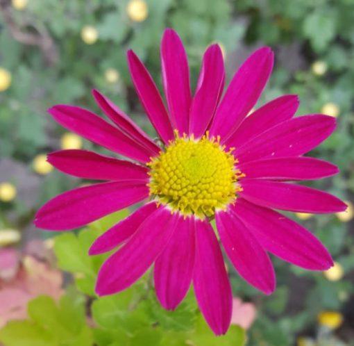Chrysanthemum rubellum No. 5