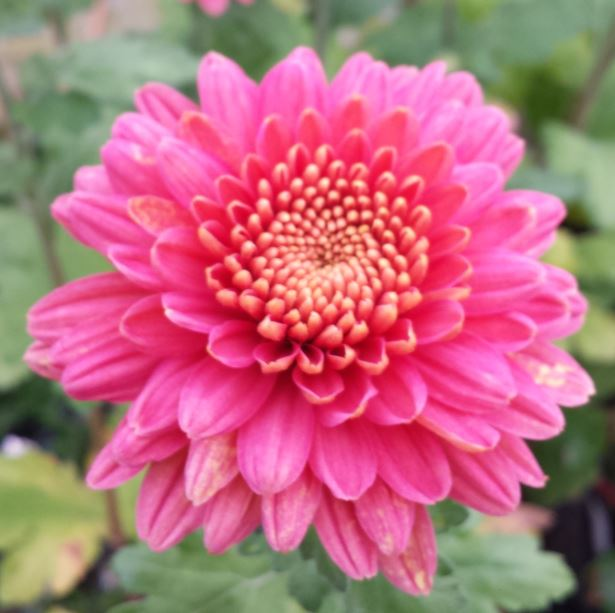 Chrysanthemum 'Talbot Parade Salmon'