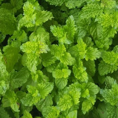 Herb Curly Mint