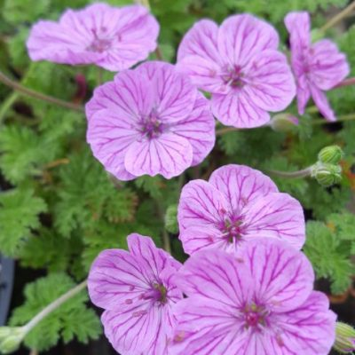 Erodium 'Maryla'