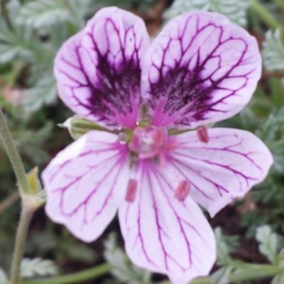 Erodium 'Purple Haze'