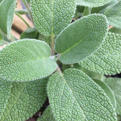 Herb Sage Silver