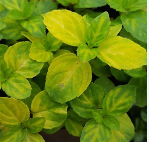 Herb Mint Ginger