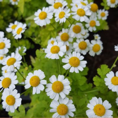 Herb Golden Feverfew