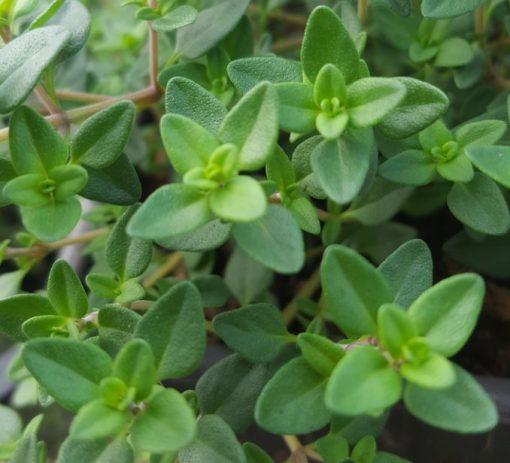 Herb Thyme - Lemon