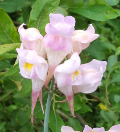 Linaria 'Pink Budgies'