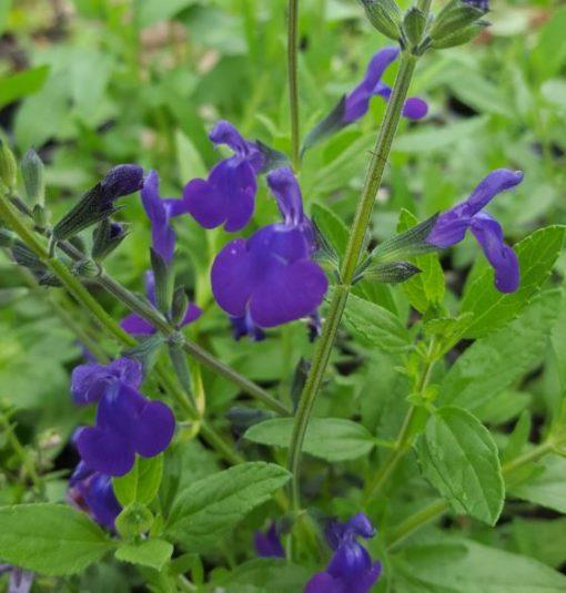 Salvia 'Purple Queen'