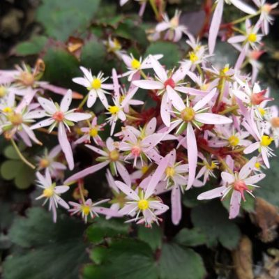 Saxifraga fortunei 'Autumn Tribute'
