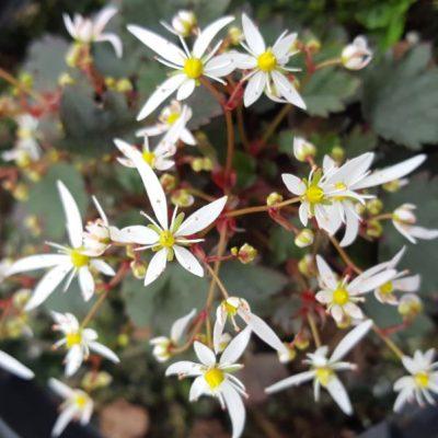 Saxifraga fortunei 'Conwy Star'